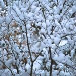 Snow on branches in Greektown, Toronto 2011-01-08