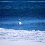 Swan on Lake Ontario, Toronto 2011-01-09