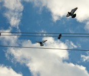Pigeons in flight on Winchester Street, Toronto 2011-02-10