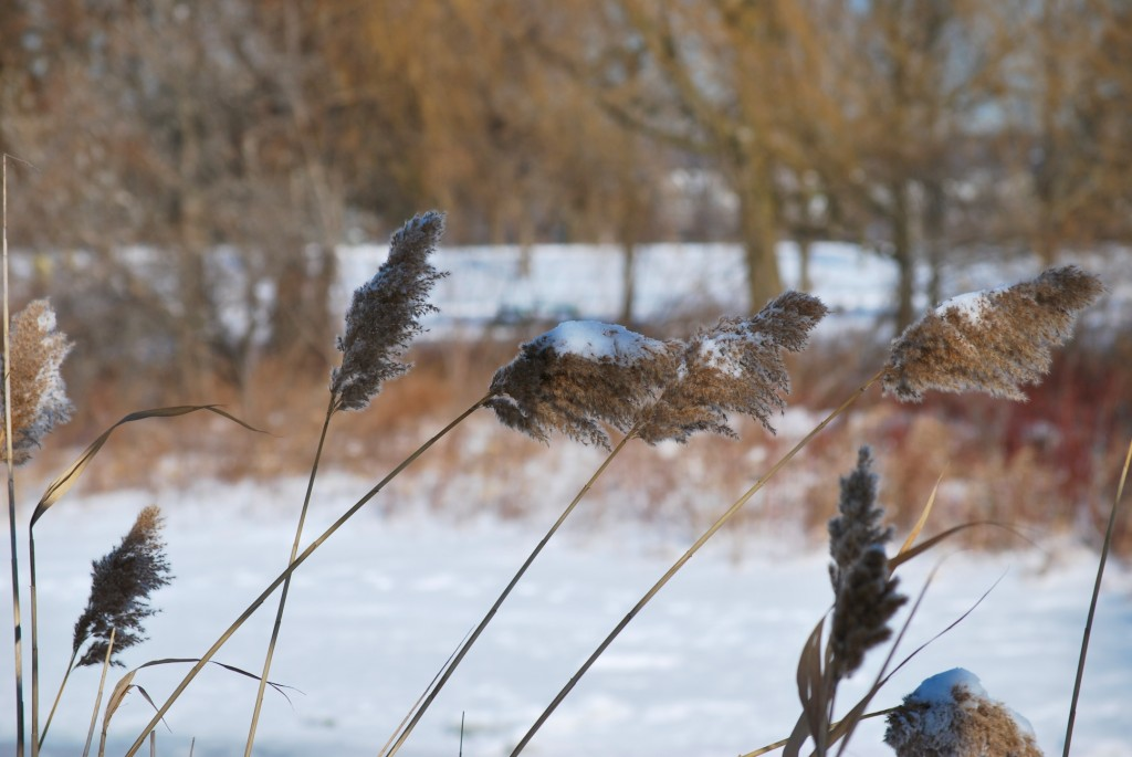 Dried grasses in Ashbridge's Bay Park, Toronto 2011-02-03