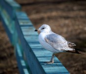 Gentle avian neighbour in Ashbridge's Bay Park, Toronto 2011-03-15