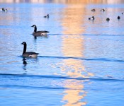 Geese in Ashbriges' Bay, Toronto 2011-03-30