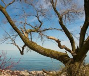 Lake-side tree in Tommy Thompson Park, Toronto 2011-04-30