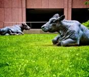 Courtyard Cows at the Toronto Dominion Centre, Toronto 2011-05-28