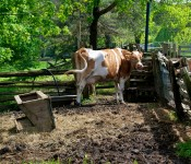 Cow at Riverdale Farms in Cabbagetown, Toronto 2011-05-26