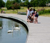 Swans at Woodbine Park, Toronto 2011-06-20