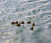 Ducklings leaving the shore on Lake Ontario, Toronto 2011-08-18