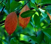 Two speacial leaves, Santiago, Chile 2010-12-17