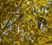Yellow leaves in Bluffer's Park, Toronto 2011-09-22