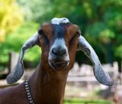 Goat at Riverdale Farm, Toronto