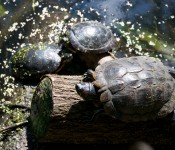 A trio of turtles by the pond at Riverdale Farm, Toronto 2011-09-20
