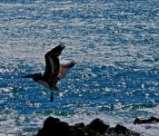 Pelican in flight over the Pacific Ocean, Chile 2010-12-18