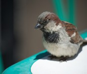 House Sparrow on Queens Quay East, Toronto 2011-06-14