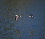 Birds on the coast Viña del Mar, Chile 2012-01-09
