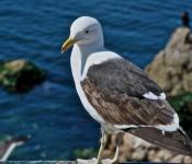 Gull in Con Con, Chile