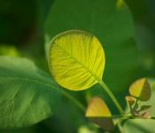 Cotinus coggygria 'Golden Spirit' Dorval