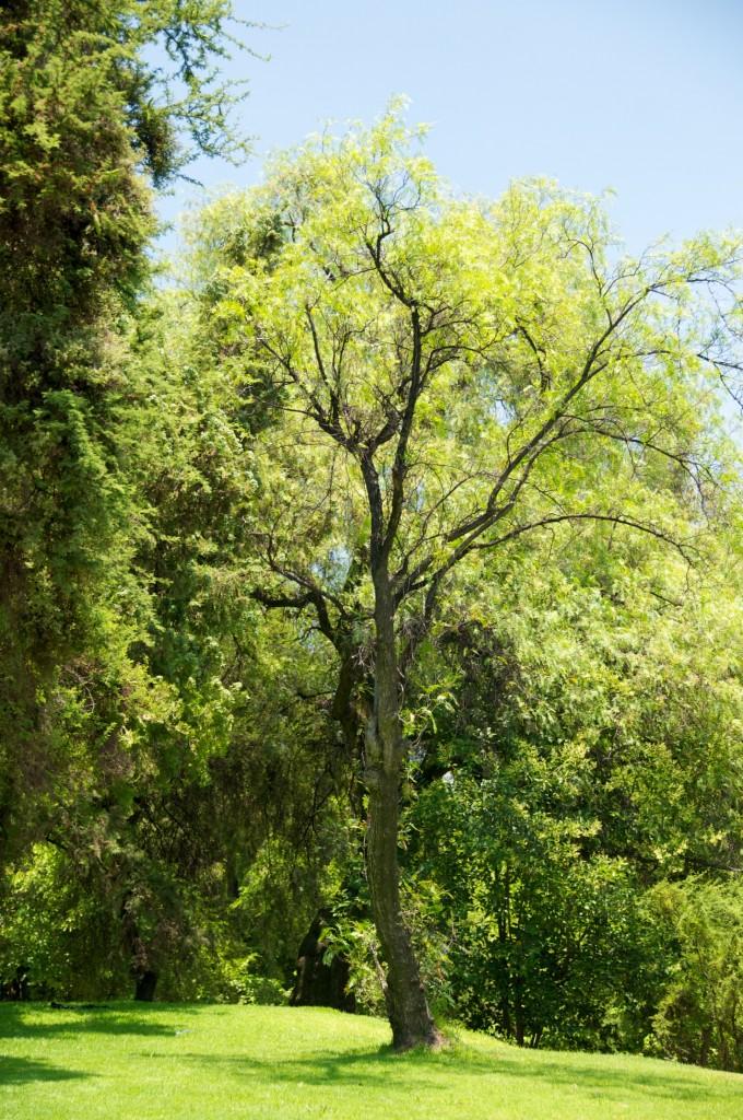 Tree in Tupahue Zone in Parque Metropolitano de Santiago, Chile