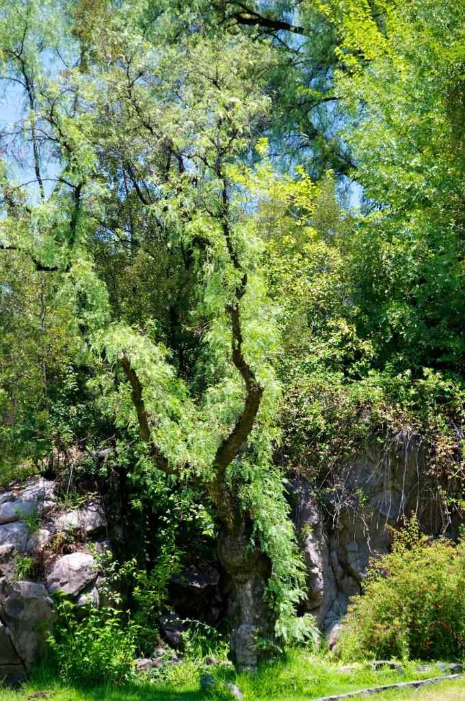 Tree growing in Jardín Mapulemu in Parque Metropolitano de Santiago, Chile