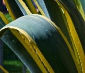 Agave plant in Quinta Vergara park, Viña del Mar, Chile 2012-01-07
