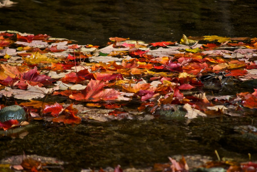 Leaves floating on water in Edward Gardens, Toronto 2011-10-11