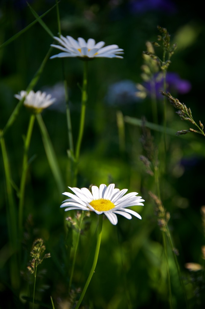 Daisies along Lakeshore Drive, Dorval 2012-05-30