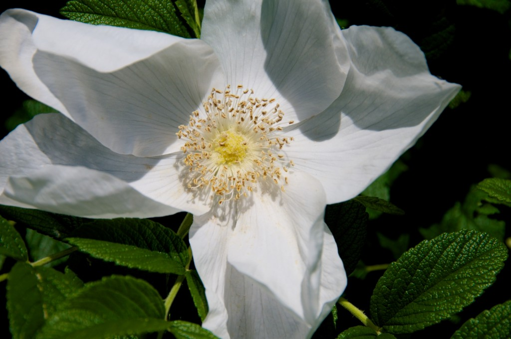 White rose along Lakeshore Drive, Dorval 2012-06-05