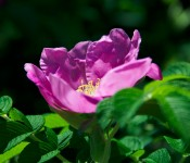 Pink rose along Lakeshore Drive, Dorval 2012-06-05