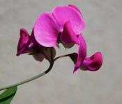 Perennial sweet pea [Lathyrus latifolius (mix)] Dorval 2012-06-23