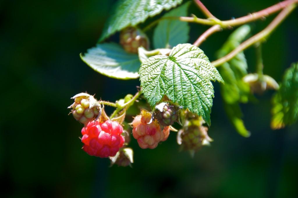 Raspberries in Dorval 2012-06-24