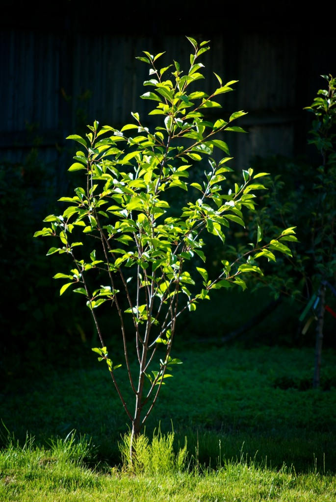 Young sour cherry tree in Dorval 2012-06-23