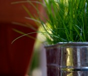 """Shady Blend"" grass growing in a tin container in Dorval"
