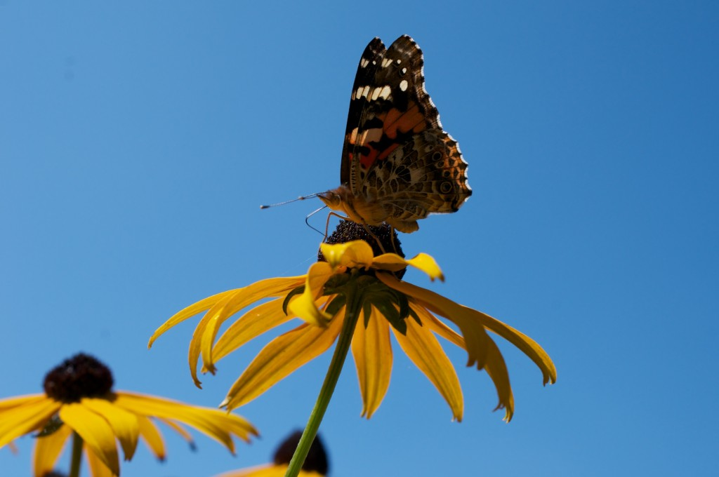 Butterfly on a black-eyed Susan, Dorval