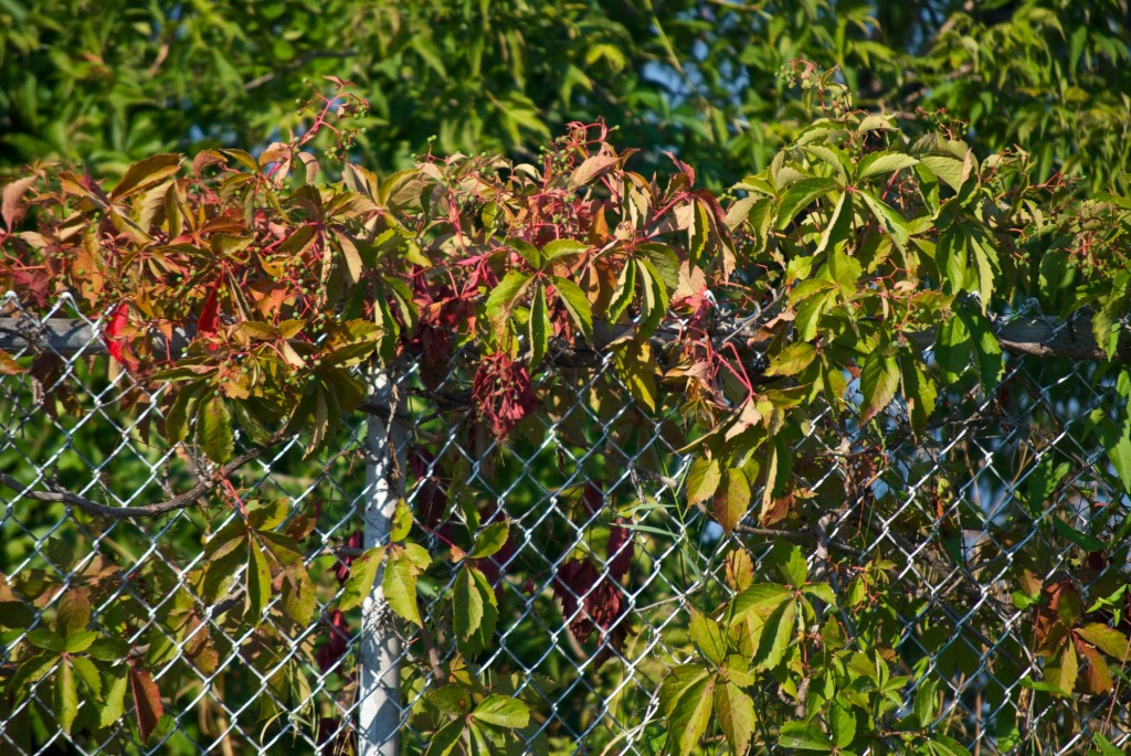 Vines on a wire fence, Dorval 2012-07-31