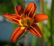 Lily in Dorval