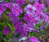 Phlox in Cabbagetown, Toronto 2011-09-20