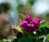 A beautiful rose in Dorval 2012-09-11