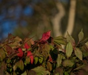 Leaves changing colour in Dorval 2012-09-23
