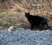 A beautiful black cat, Dorval 2012-03-17