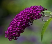 Purple flower of a butterfly bush attracting butterflies, Toronto 2011-08-12