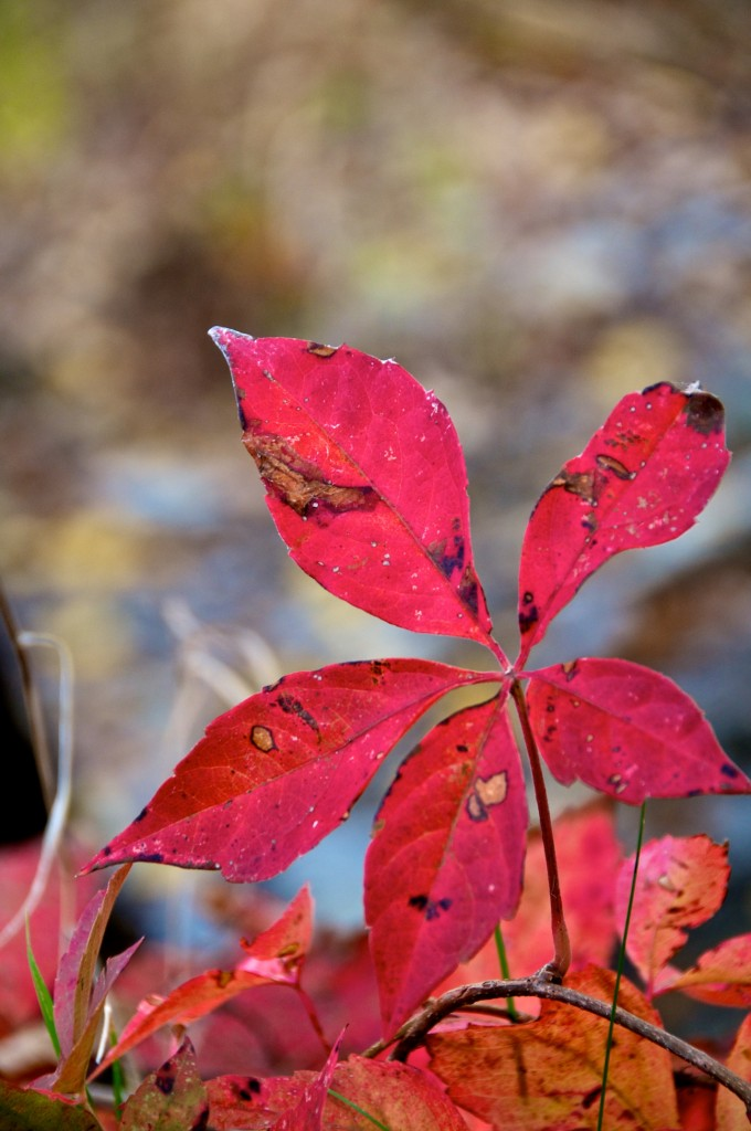 The last few glorious days of a leaf, Dorval 2012-10-06