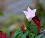 The last Morning Glory flowers of the season, Dorval 2012-10-06