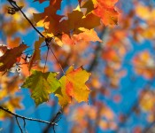 Yellow leaves, Dorval 2012-10-09