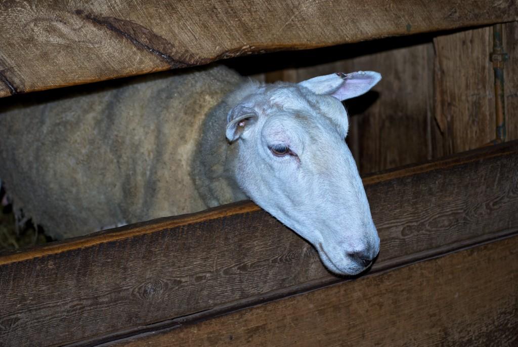 Riverdale Farm, Toronto 2011-05-26