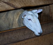 Riverdale Farm, Toronto 2011-05-26