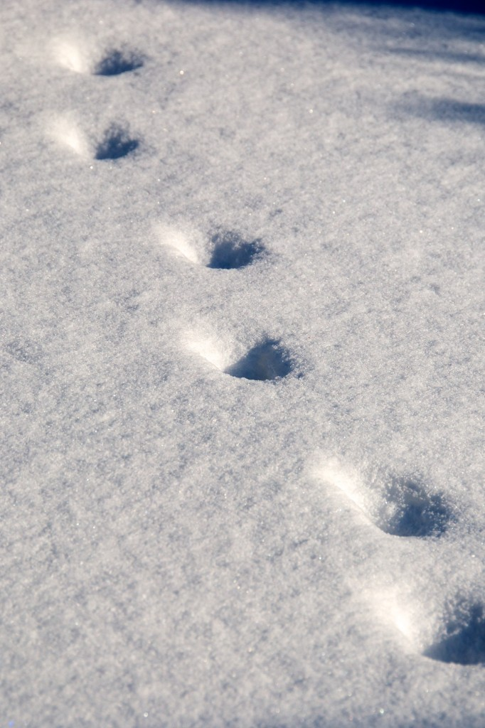 Tracks in snow, Dorval 2012-02-04