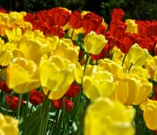 Red and Yellow Tulips 2011-05-11