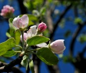 May your pink visions be true to the core - the crabapple core that is.
