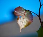 DSC_8856 - Leaf