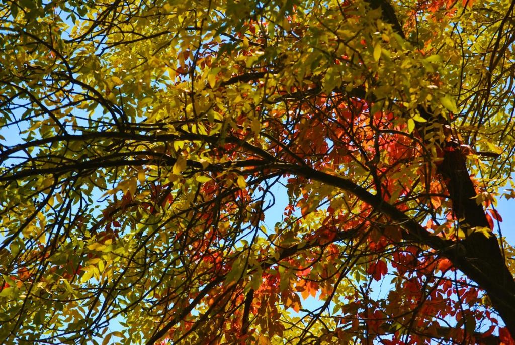 DSC_0013 - Fall Tree Foliage