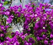 Flores de Chile